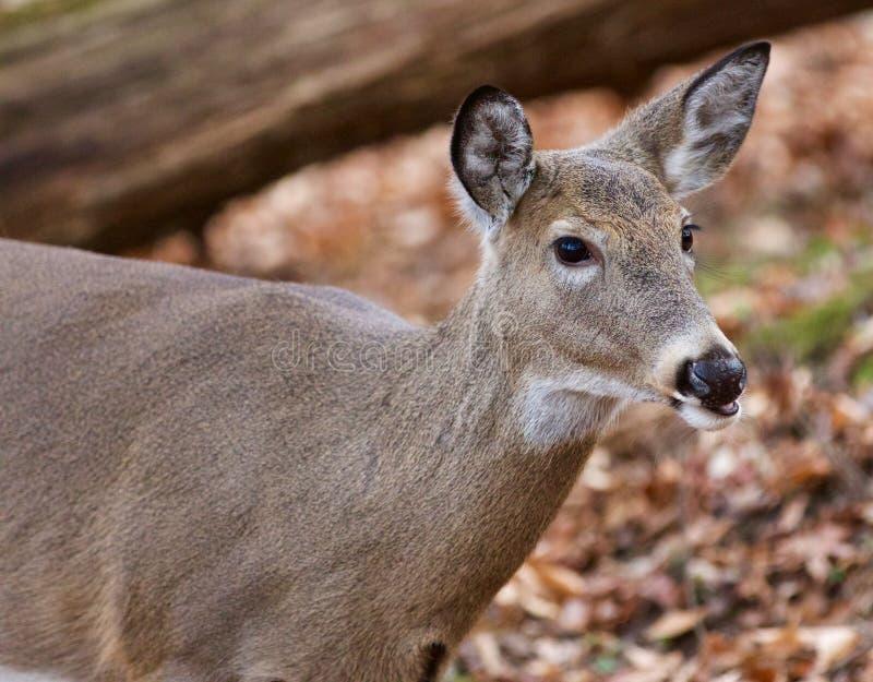 Mooi portret van de leuke herten in het bos royalty-vrije stock fotografie