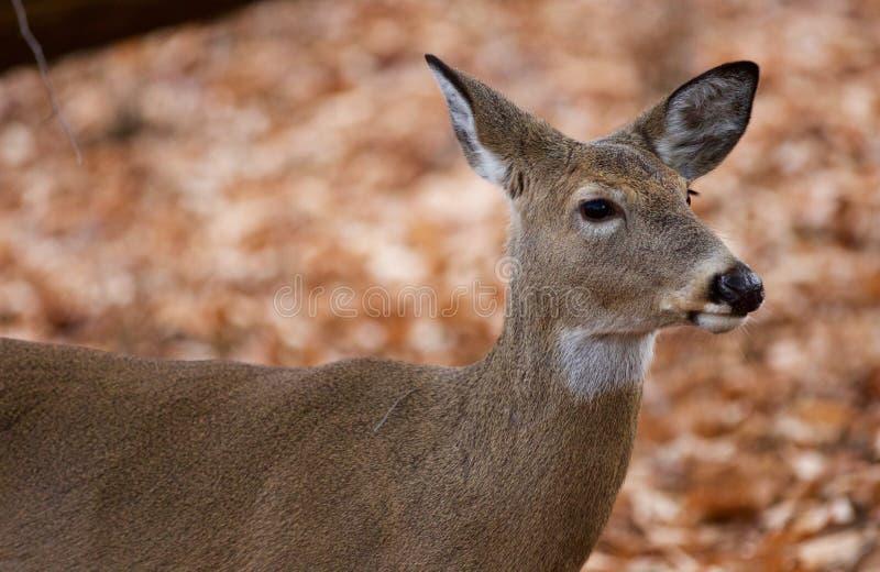 Mooi portret van de leuke herten in het bos royalty-vrije stock foto's