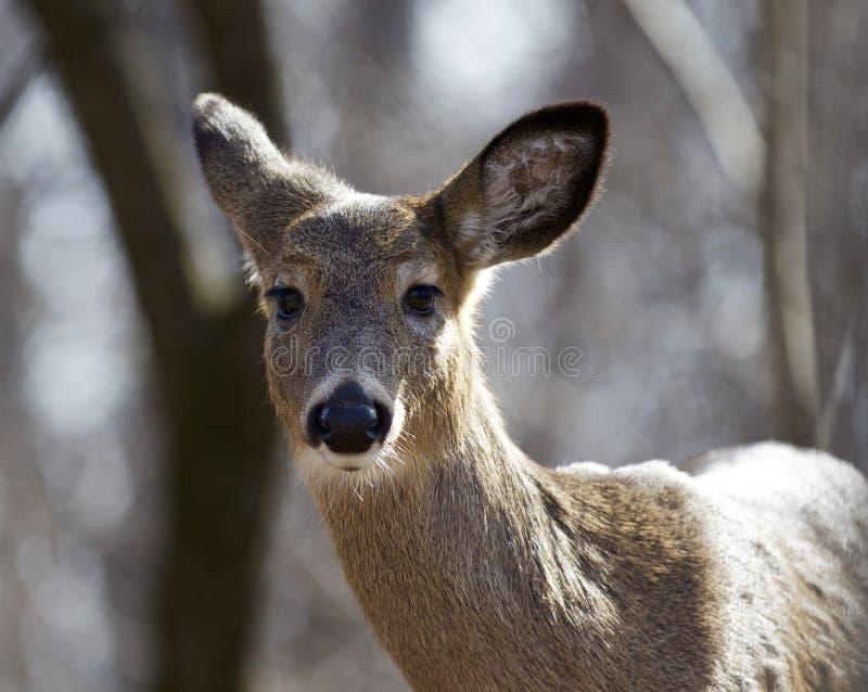 Mooi portret van een wild hert in het bos stock foto
