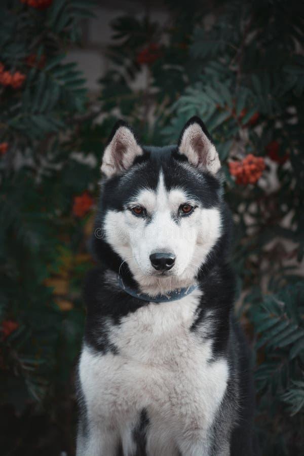 Mooi Portret van een zwart-witte Siberische schor hond in rode lijsterbes stock afbeelding