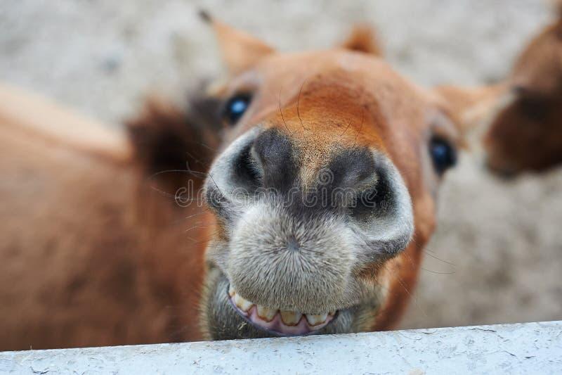 Mooi portret van het het glimlachen paard stock foto's