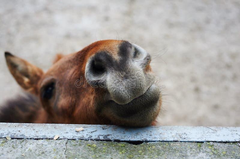 Mooi portret van het het glimlachen paard stock afbeeldingen