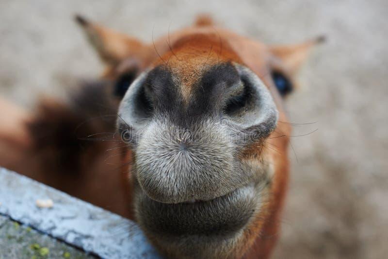 Mooi portret van het het glimlachen paard stock foto