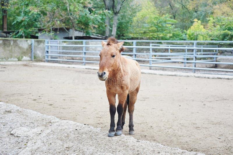 Mooi portret van het kleine bruine paard stock afbeeldingen