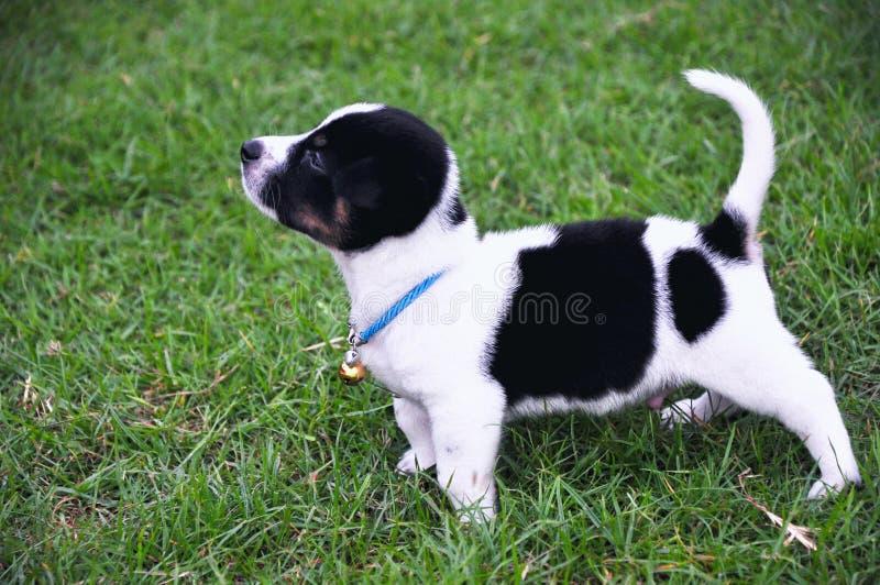 Mooi puppy in de werf stock fotografie