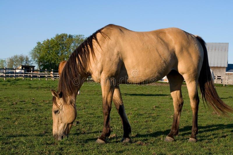 Mooi Purebread-Paard die Gras op het Gebied eten stock foto's