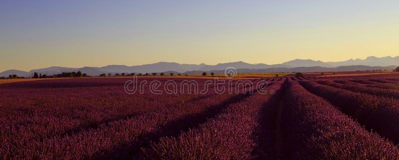 Mooi Purper Lavendelgebied en gele zonnebloemgebieden stock foto