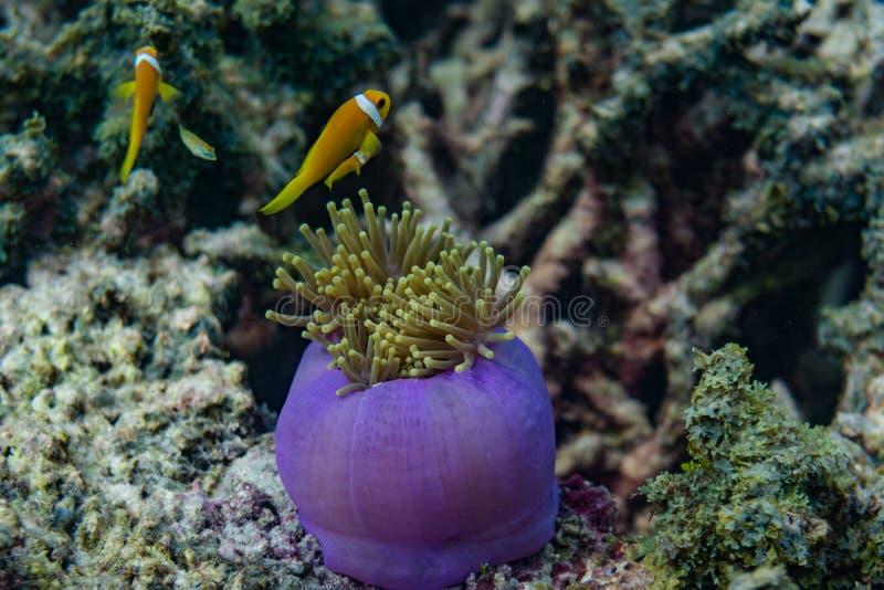 Mooi purper levend koraal met gele kleine vissen rond in de oceaan in de Maldiven stock foto's