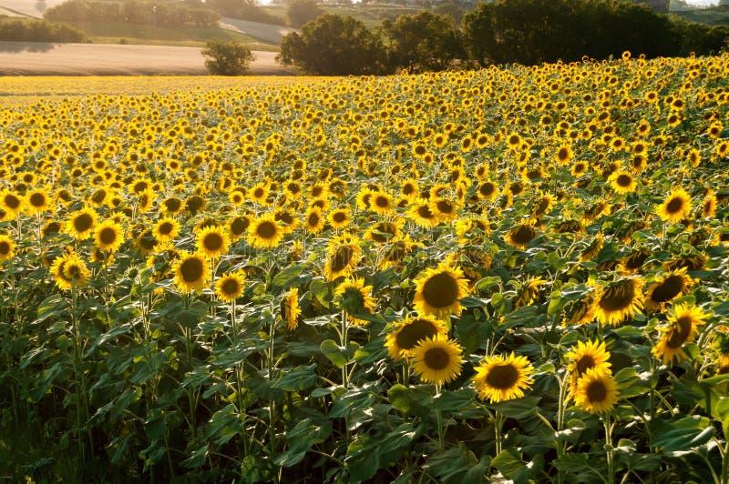 Mooi, reusachtig gebied van zonnebloemen royalty-vrije stock afbeeldingen
