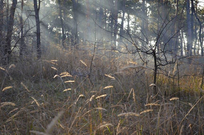 Mooi riet in de mist in de stralen van de zon stock foto's