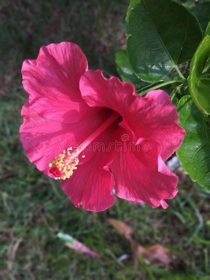 Mooi Rood China Rose Flower en bladeren royalty-vrije stock foto's