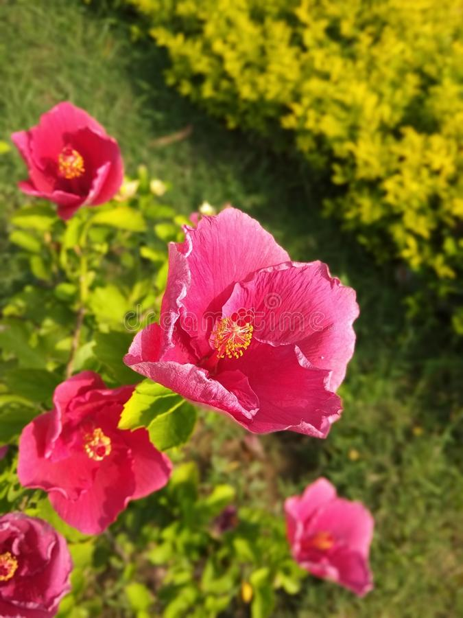 Mooi Rood China Rose Flower en bladeren stock afbeelding