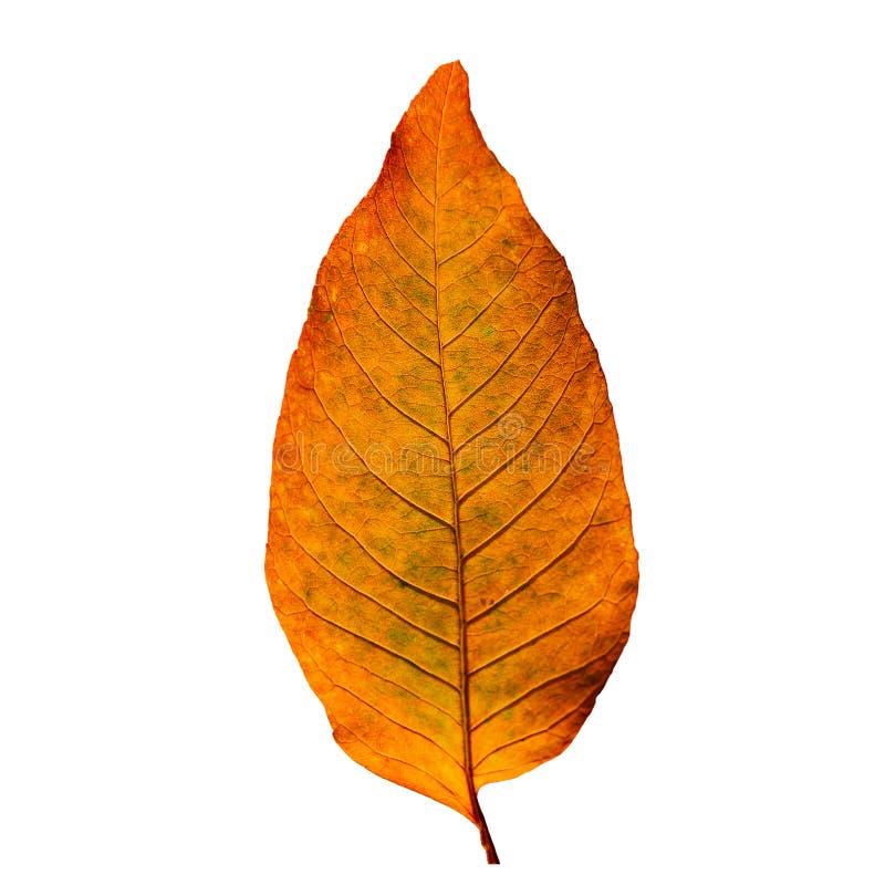 Mooi rood die blad tijdens de Herfst bij witte achtergrond wordt geïsoleerd stock afbeelding