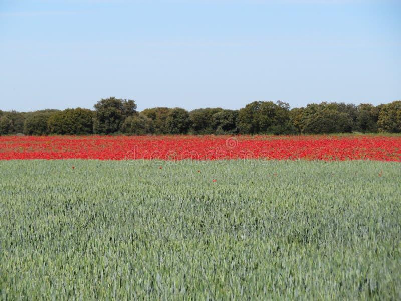Mooi rood die papavershoogtepunt van bloemen met graangewas worden gemengd stock afbeeldingen