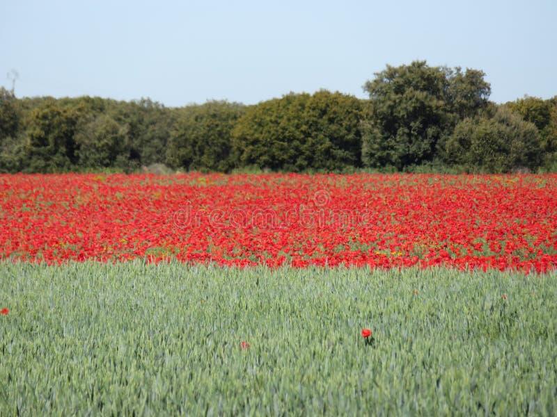 Mooi rood die papavershoogtepunt van bloemen met graangewas worden gemengd royalty-vrije stock foto