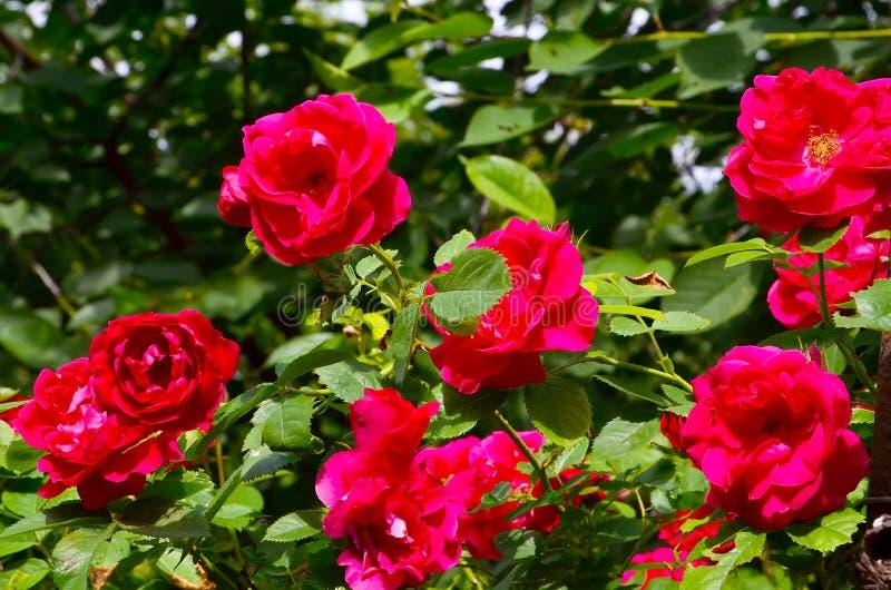 Mooi rood die rozen in de de zomertuin beklimmen Decoratieve bloemen of het tuinieren concept royalty-vrije stock afbeelding