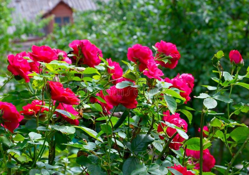 Mooi rood die rozen in de de zomertuin beklimmen Decoratieve bloemen of het tuinieren concept stock afbeeldingen
