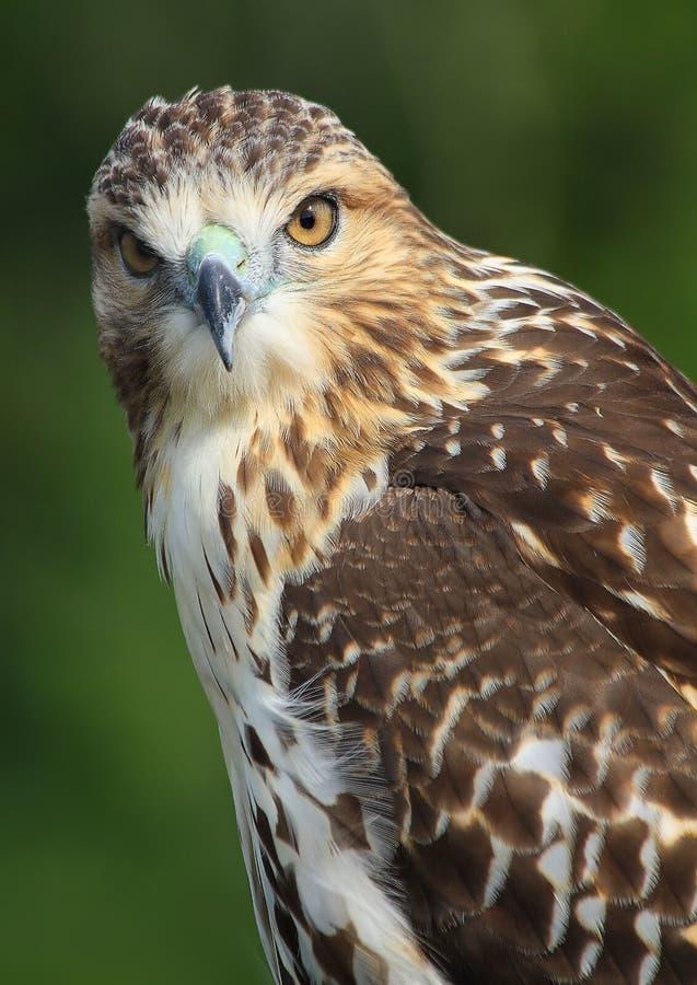 Mooi rood-Gesteund Hawk Posing stock foto's