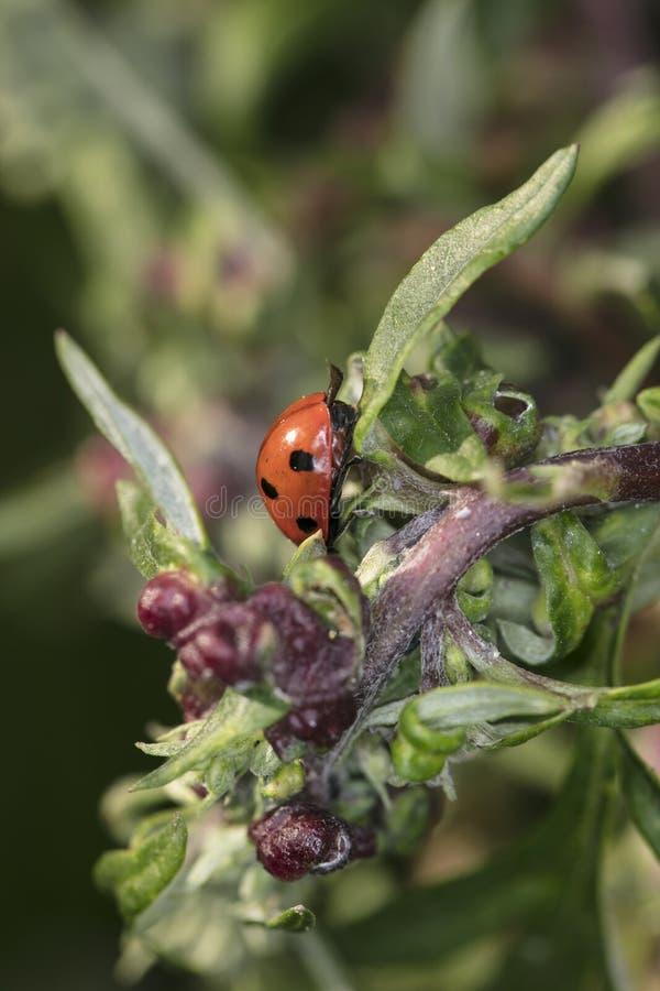 Mooi rood lieveheersbeestje met zwarte punten op de struik stock foto