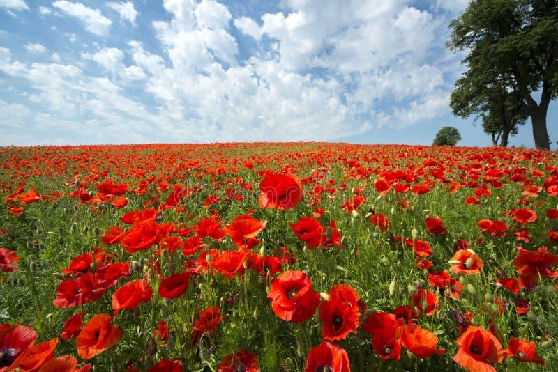 Mooi rood papavergebied in Polen royalty-vrije stock foto's