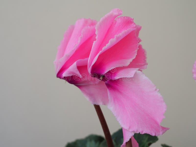 Mooi roze de bloemcyclaam geïsoleerd close-up van Bush stock afbeelding