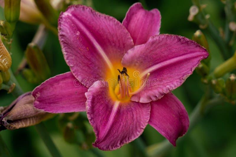 Mooi roze de bloemhoofd van de daglelie tegen een groene bokehachtergrond stock foto's
