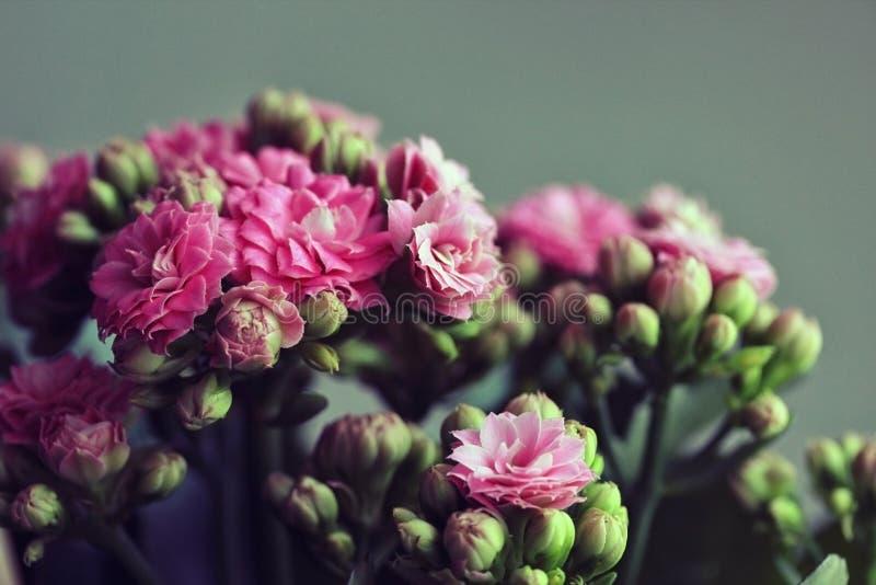 Mooi roze die kalanchoe op een groene achtergrond bloeien Heldere roze kleine bloemen en knoppen De installatie van het huis Clos stock foto's