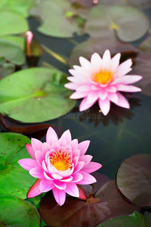 Mooi Roze Lotus in vijver royalty-vrije stock afbeelding