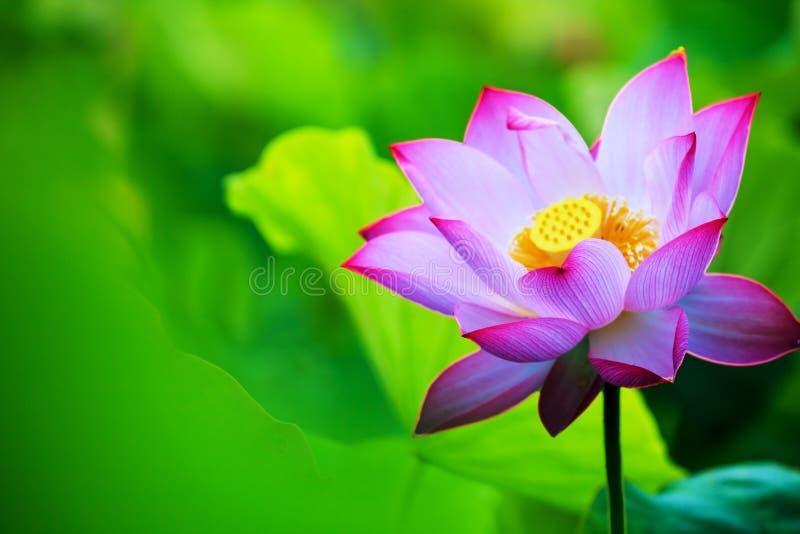 Mooi roze waterlily of lotusbloembloem in vijver stock afbeeldingen