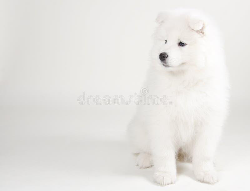 Mooi Samoyed-puppy royalty-vrije stock afbeeldingen