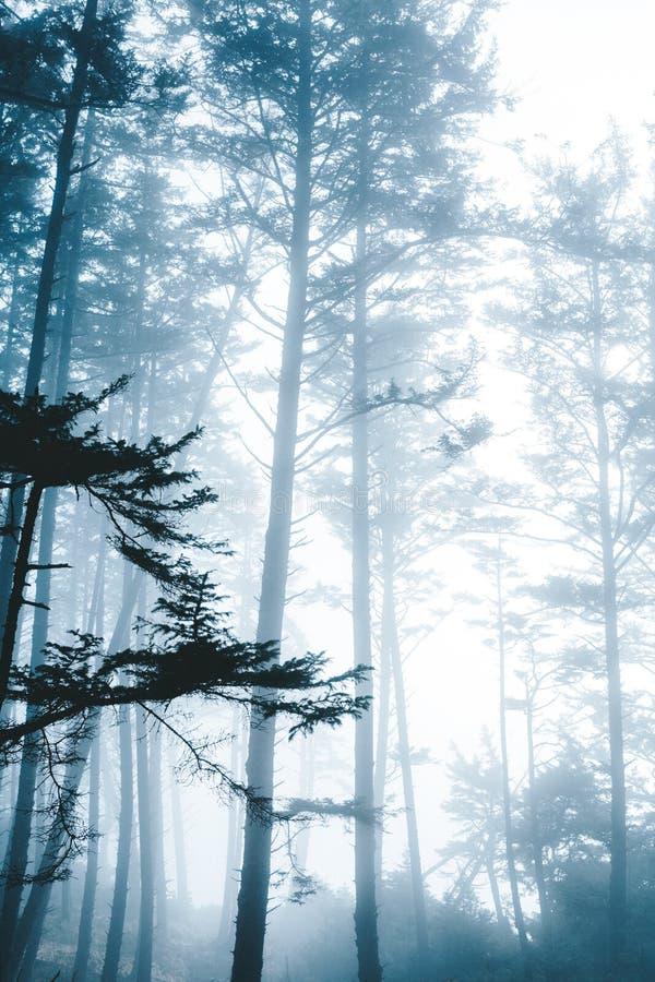 Mooi schot van een geheimzinnig donker bos met lange dunne die bomen in mist worden gewikkeld royalty-vrije stock afbeeldingen