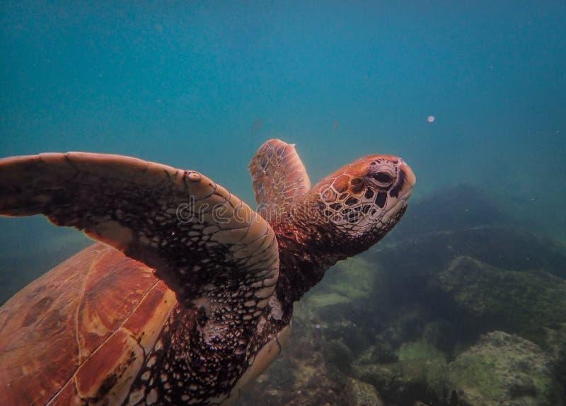 Mooi schot van hawksbillzeeschildpad onderwater zwemmen royalty-vrije stock foto's
