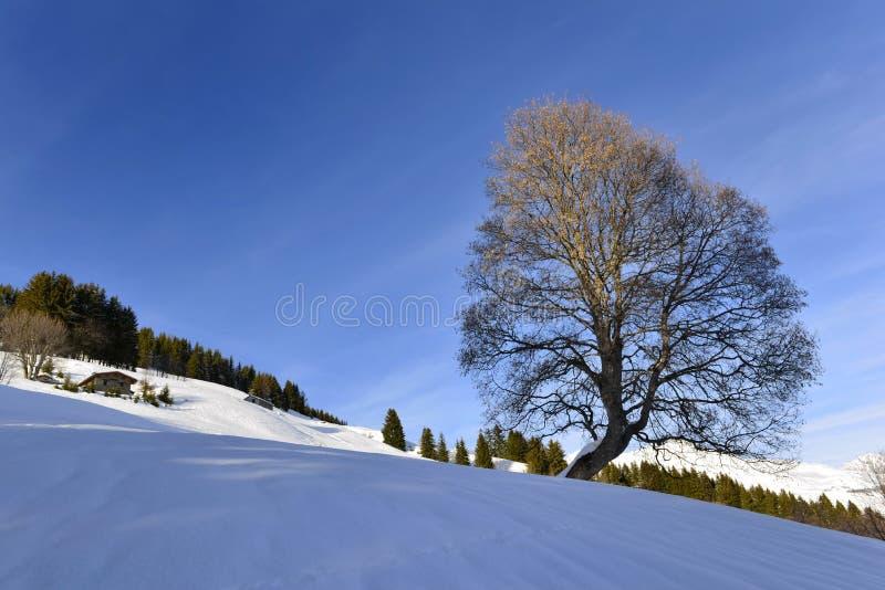 Mooi silhouet van een boom in sneeuwberg stock foto's