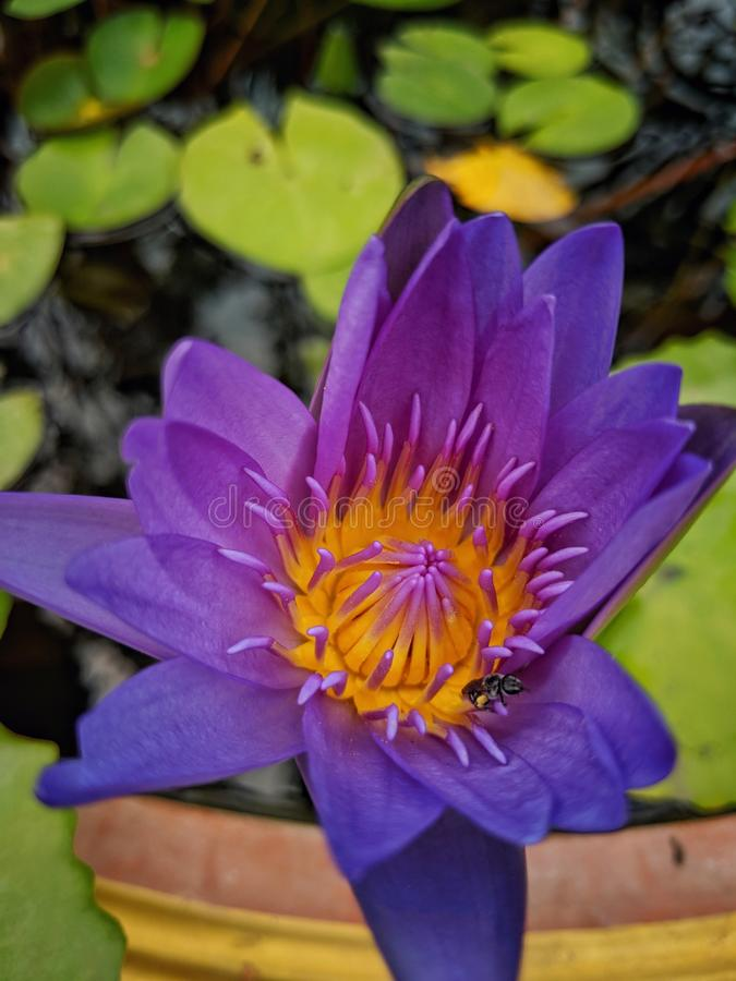 Mooi sluiten-op purpere lotusbloembloem die in lotusbloempot en een bij bloeien stock foto