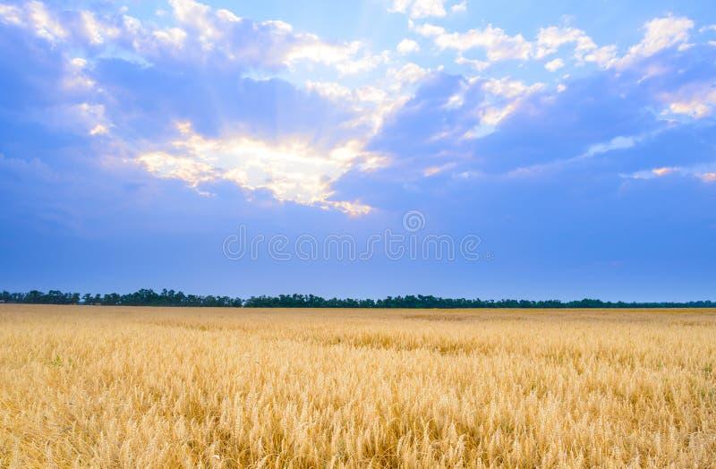 Mooi Tarwegebied onder Blauwe Hemel met Dramatische Zonsondergangwolken royalty-vrije stock afbeelding