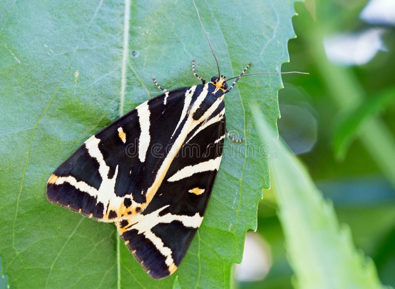 Mooi Tiger Moth die op een groen blad rusten royalty-vrije stock fotografie