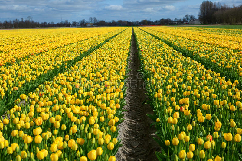 Mooi tulpengebied in Holland stock foto
