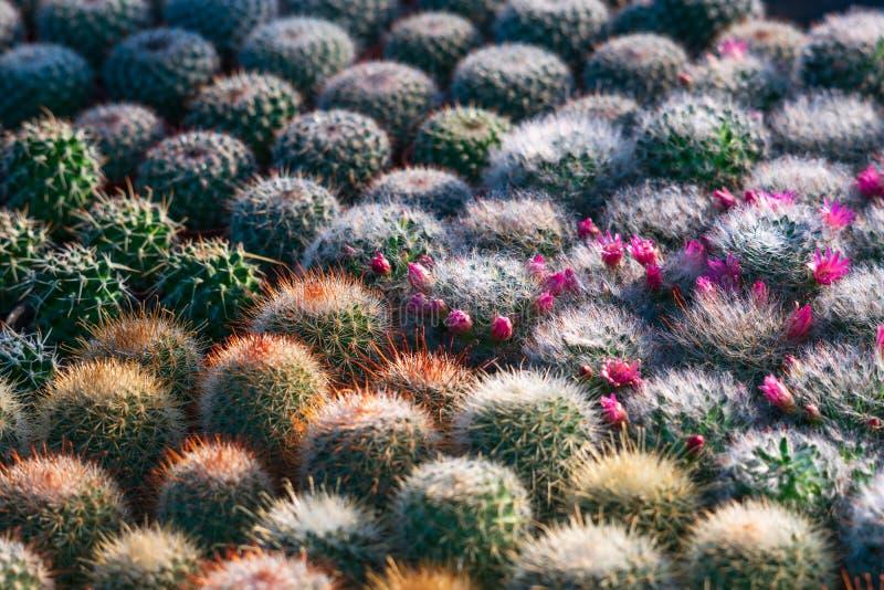 Mooi vele trillende groene kleine textuur van het cactuspatroon voor achtergrond of behang Groen de bladerenpatroon van de cactus stock foto's
