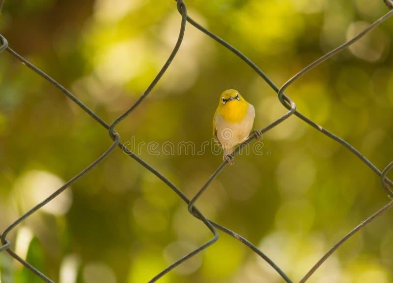 Mooi vogel oosters wit oog in aard royalty-vrije stock foto