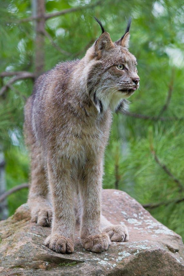 Mooi volledig lengteportret van Noordamerikaanse Lynx royalty-vrije stock foto