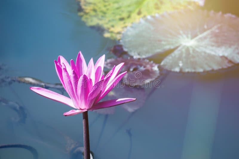 mooi waterlily, de installaties van de lotusbloembloem in vijver met groen blad royalty-vrije stock fotografie