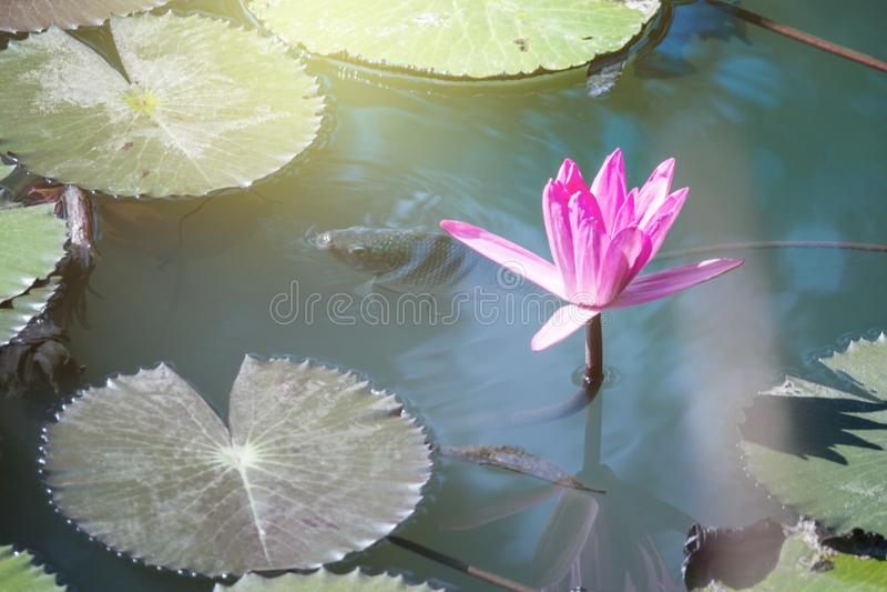 mooi waterlily, de installaties van de lotusbloembloem in vijver met groen blad stock foto