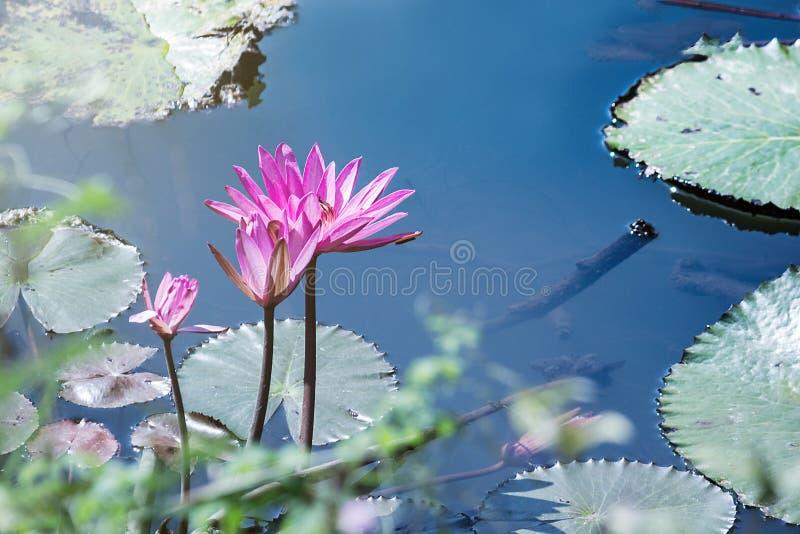 mooi waterlily, de installaties van de lotusbloembloem in vijver met groen blad royalty-vrije stock foto's