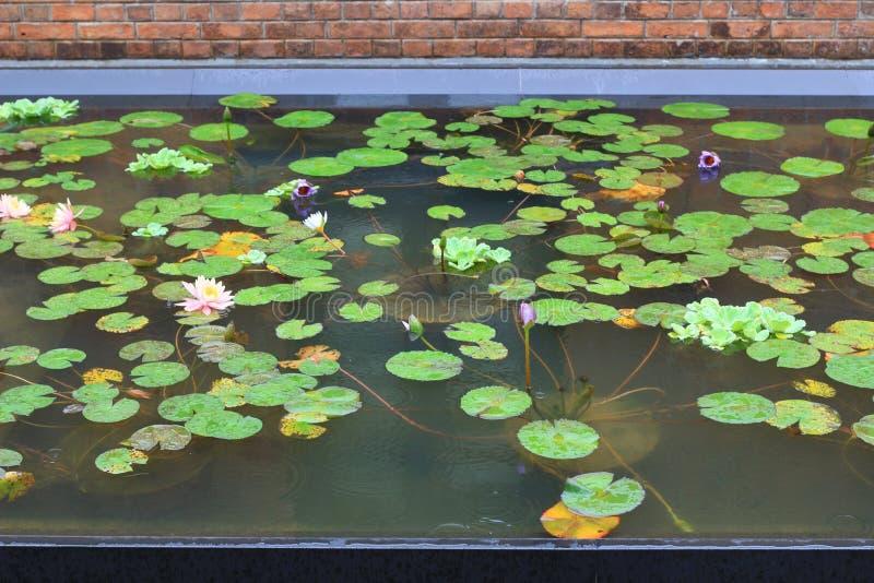 Mooi waterlily of de lotusbloembloem wordt gecomplimenteerd royalty-vrije stock foto's