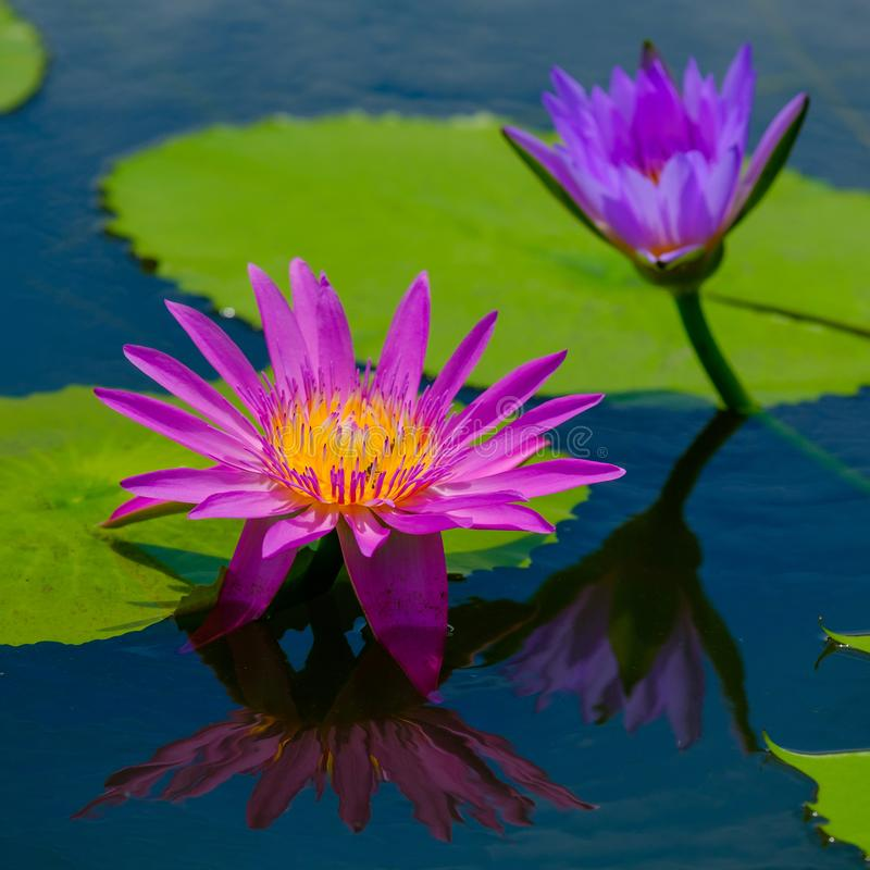 Mooi waterlily of de lotusbloembloem wordt gecomplimenteerd door stock afbeelding