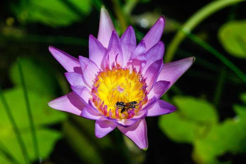 Mooi waterlily of lotusbloembloem met bij royalty-vrije stock foto