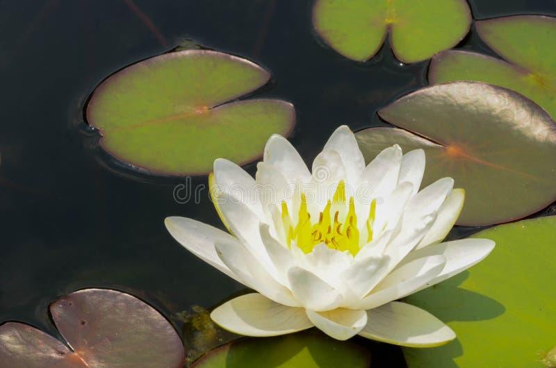 Mooi waterlily of lotusbloembloem in vijver stock foto