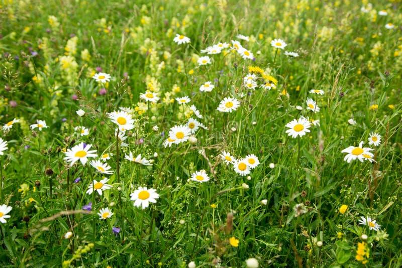 Mooi weidegebied met wilde bloemen stock afbeelding