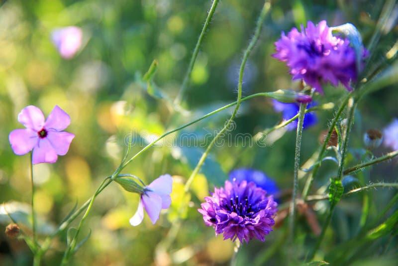 Mooi weidegebied met wilde bloemen De close-up van de lentewildflowers Het concept van de gezondheidszorg Landelijk Gebied altern stock afbeelding