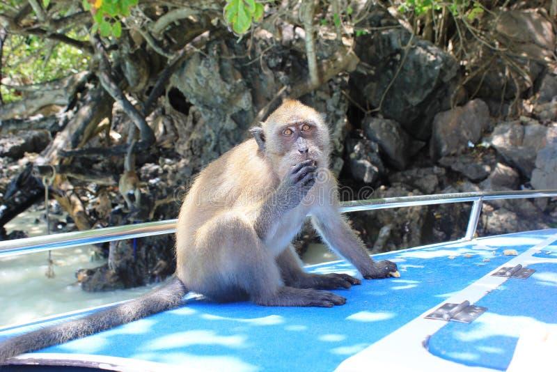 Mooi weinig aap het stellen stock afbeeldingen